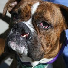 boxer dog mean medical lifeline