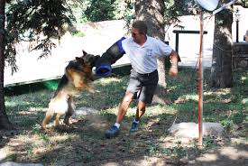 belgian sheepdog colorado mountain canine college personal protection dog training k 9