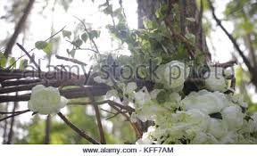 bush of beautiful white roses in a garden in a front of house stock