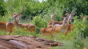 family of deer in nature of sri lanka