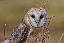 Barn Owl Photography Photography For Sale Rob Taylor