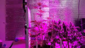 growing autoflower with led lights autoflower thai fantasy cool led grow tent setup led grow tent