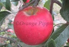 Online Fruit Trees For Sale - pixie crunch apple trees for sale buy online friendly advice