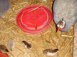 guinea fowl backyard chickens