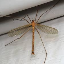 pediciid crane flies family pediciidae inaturalist org