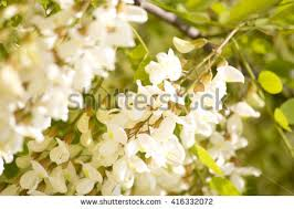 Tree With Little White Flowers - popular tag small white flowers with yellow in middle page 2 9