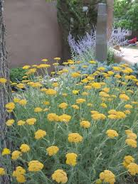 perennial garden vegetables yellow yarrow and russian sage common in santa fe growing