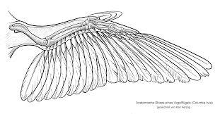 Bird Wing - bird wing anatomy bird wings anatomy birds