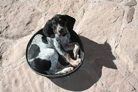 bluetick coonhound genetics dog photo of the day waiting for food dog reflections