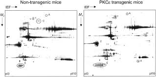functional proteomic analysis of protein kinase c ε signaling