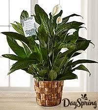 funeral plants sympathy plants funeral plant delivery from ftd