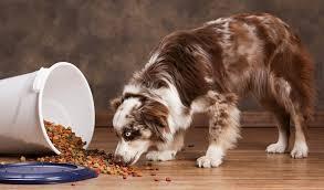 5 month old australian shepherd weight best dog food for australian shepherds 7 vet recommended brands