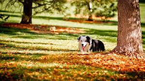 cute fall background wallpaper dogs nature fall landscape forest autumn leaves tree dog images