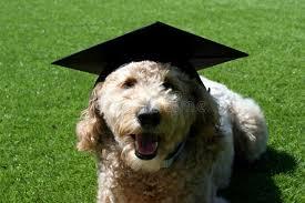 dog graduation cap goldendoodle dog wearing a graduation cap stock image image