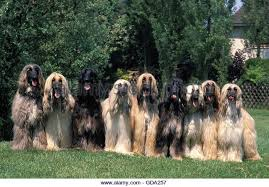 afghan hound underwater hound group stock photos u0026 hound group stock images alamy