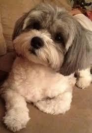 shih pooh haircut shih poo haircut pictures google search pooch pinterest