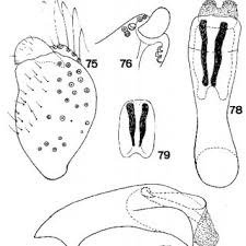 Meme Figures - figures 62 70 micrasema vestitum 62 genitalia latéral 63