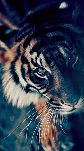 devil z wallpaper bengal tiger closeup iphone 6 wallpaper animals pinterest