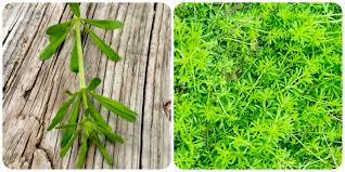 plants native to new jersey the foraged foodie foraging how to find identify prepare and