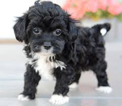 shi poo shih poo puppies by design online