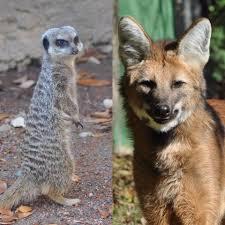 maned wolf 4 meerkats make louisville zoo debut