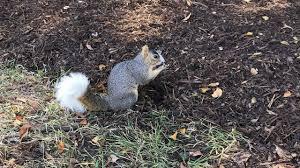 uh u0027unusual u0027 campus legend white tailed squirrel dies