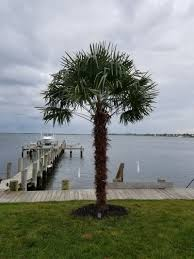 palm trees for sale home