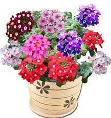 verbena flower seeds lemon picture more detailed picture about 2 pack 60 seed