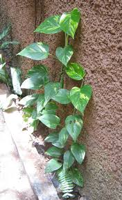 Indoor Vine Plant Garden Golden Pothos Popular Houseplants Lowes House Plants
