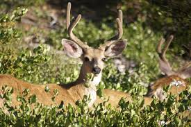 When Do Deer Shed Their Antlers by Whitetail Deer Antlers 101 All The Facts You Need To Know