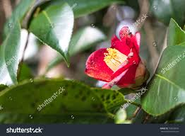 red camellia winter flowers stock photo 756033016 shutterstock