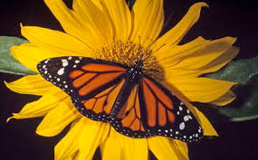 butterfly gifts butterfly gifts when you donate to wwf
