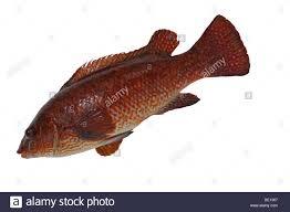 fish cut out ballan wrasse stock photo royalty free image