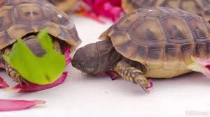 tortoise hatchlings eating a hibiscus flower 2 youtube