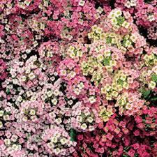 alyssum flowers pastel carpet sweet alyssum seeds from park seed