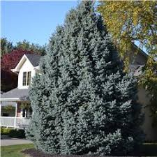 blue spruce trees colorado blue spruce tree on the tree guide at arborday org