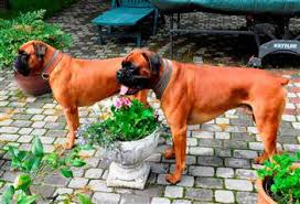 boxer dog keeps coughing boxer dog gas and flatulence
