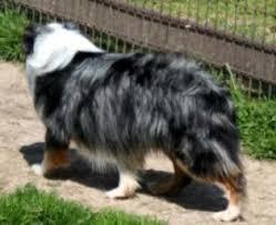 australian shepherd service dog texas miniature australian shepherd stud dogs