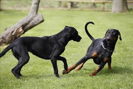 belgian shepherd vs doberman doberman vs rottweiler vs german shepherd dog and cat