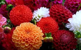dahlias flowers beautiful dahlia flower wallpaper search garden