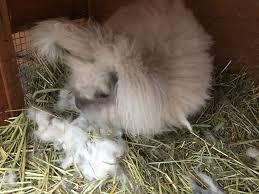 understanding rabbit behavior the cape coop
