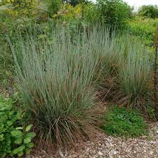 ornamental grass schizachyrium scoparium standing ovation