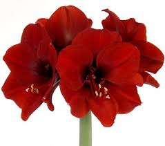 amaryllis flowers amaryllis flower images flowers