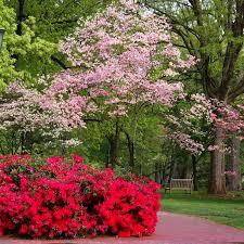 flowering dogwood trees for sale nature nursery