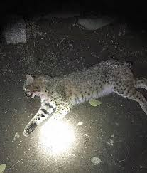 Connecticut wildlife tours images Bobcat found dead on roadside connecticut post jpg