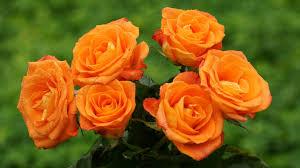 orange roses orange roses wallpaper 29738 1920x1080 px hdwallsource