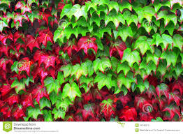 ivy plants in autumn stock images image 34748074