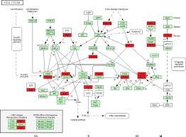 Cell Cycle Concept Map Articles Physiological Genomics