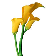 yellow calla image result for calla mutation flowers