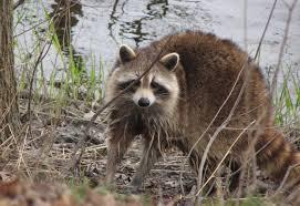 file raccoon female after washing up mirror image jpg wikimedia